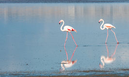 Gruppe Flamingo-Vögel, die auf einen See gehen Stockbild