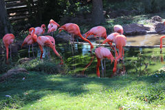 Gruppe Flamingos Stockbilder