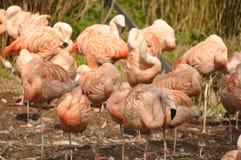 Gruppe Flamingos, die zusammen stehen Stockfotografie