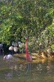 Gruppe Flamingos in einem Teich lizenzfreies stockbild