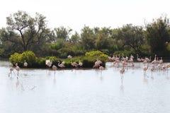 Gruppe Flamingos im Camargue, Frankreich stockfotos