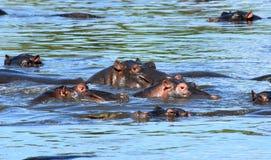 Gruppe Flusspferde Stockbilder