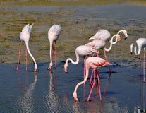 Gruppe Formhälse und -federn Flamingoswith S, die auf Wind flattert Stockfotografie