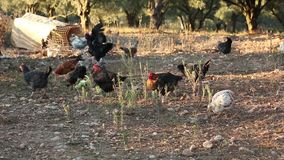 Gruppe Freerange Hühnerfütterung stock footage