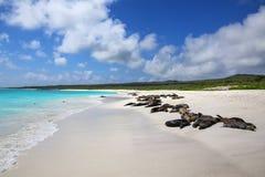 Gruppe Galapagos-Seel?wen, die auf sandigem Strand in Gardner Bay, Nationalpark Espanola-Insel, Galapagos, Ecuador stillstehen lizenzfreie stockfotos