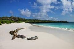 Gruppe Galapagos-Seel?wen, die auf sandigem Strand in Gardner Bay, Nationalpark Espanola-Insel, Galapagos, Ecuador stillstehen lizenzfreie stockbilder