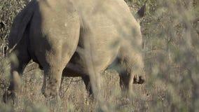 Gruppe gefährdete Nashörner weg gehend stock video