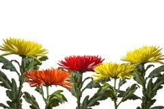 Gruppe gelb-orangee Astern der Blumen unten rudern auf einem weißen Hintergrund stockbild