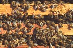 Gruppe gelbe Bienen auf der wilden Naturnahaufnahme Bienenstockrahmen Insekts im Frühjahr Bienenhaus in den Wiesen Macrophoto lizenzfreie stockbilder