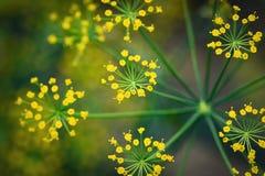 Gruppe gelbe Blumen des Dills Stockbilder