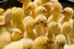 Gruppe gelbe Entlein Lizenzfreies Stockfoto