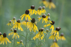 Gruppe gelbe Gänseblümchen, die auf dem Gebiet wachsen Lizenzfreie Stockbilder
