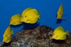 Gruppe gelbe Tang-Fische Stockbild