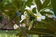 Gruppe gelbe weiße Blumen von Frangipani, Plumeria, mit nationalem Lizenzfreies Stockfoto