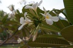 Gruppe gelbe weiße Blumen von Frangipani, Plumeria, mit nationalem Lizenzfreie Stockfotografie