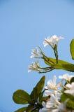 Gruppe gelbe weiße Blumen von Frangipani, Plumeria, mit nationalem Stockfotografie