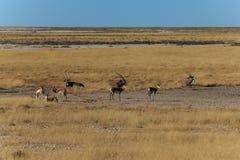 Gruppe Gemsbok oder Gemsbuckoryx und -Impala Lizenzfreies Stockfoto