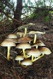 Gruppe giftige Pilze in einem Wald Lizenzfreies Stockbild