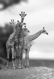 Gruppe Giraffen Lizenzfreies Stockfoto