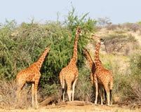 Gruppe Giraffen, die Bäume essen Lizenzfreie Stockfotos