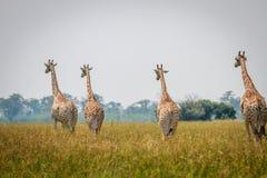 Gruppe Giraffen, die weg von der Kamera gehen lizenzfreies stockfoto