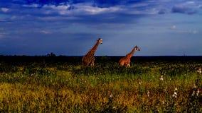 Gruppe Giraffen in einer grünen Savanne, Kruger-Park, Südafrika stockfotos