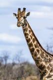 Gruppe Giraffen in Nationalpark Kruger lizenzfreies stockbild