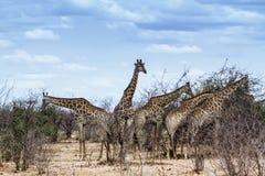 Gruppe Giraffen in Nationalpark Kruger lizenzfreie stockfotografie