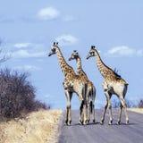 Gruppe Giraffen in Nationalpark Kruger, in der Straße, Südafrika lizenzfreie stockfotografie