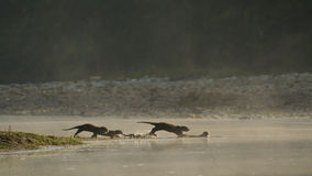 Gruppe glatt-überzogene indische Otter in Nepal stockfotografie