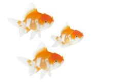 Gruppe Goldfische lizenzfreie stockfotos