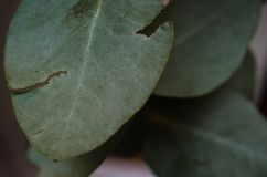 Gruppe grüne Blätter mit Kennzeichen von Insektenstichen, Bisse von Insekten auf einigen grünen Blättern lizenzfreie stockbilder