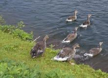 Gruppe Graugansgans runnig zum See an Nationalpark Thingvellir, Island, Sommer lizenzfreies stockfoto