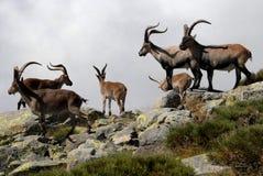 Gruppe Gredos Steinbock In-Spanienavila Lizenzfreie Stockbilder