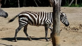 Gruppe Grevy-` s Zebra stock video footage