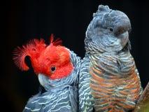Gruppe-Gruppe Cockatoos Stockfoto
