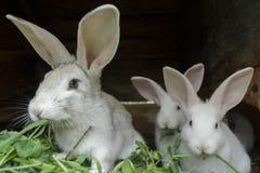 Gruppe Hauskaninchen des Pelzes, die frisches Gras im Kaninchenstall auf Bauernhof essen Lizenzfreies Stockfoto