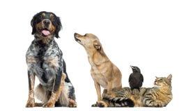 Gruppe Haustiere, lokalisiert lizenzfreie stockfotos