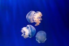 Gruppe hellblaue Quallen auf blauem Hintergrund Lizenzfreies Stockbild