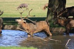 Gruppe Hirsche, die im Wasser abkühlen Lizenzfreie Stockbilder