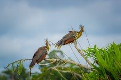 Gruppe hoatzins, episthocomus hoazin, endemischer Vogel, der auf einer Niederlassung innerhalb des Amazonas-Regenwaldes in Cuyabe Lizenzfreies Stockfoto