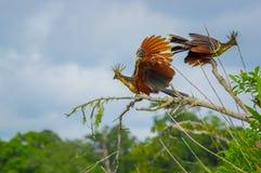 Gruppe hoatzins, episthocomus hoazin, endemischer Vogel, der auf einer Niederlassung innerhalb des Amazonas-Regenwaldes in Cuyabe Stockbild