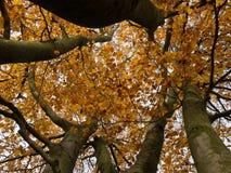 Gruppe hohe Buchenbäume im Herbst Die Ansicht vom Boden bis zu den Kronen von Buchen Stockfotografie