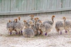 Gruppe HuhnSträuße mit beschmutzten Hälsen lizenzfreie stockfotografie