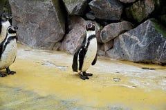 Gruppe Humboldt-Pinguine, die neben Pool stehen stockfoto
