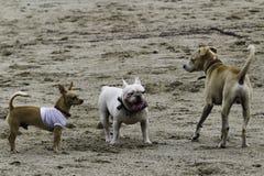 Gruppe Hunde, die auf dem Strand spielen stockbild