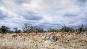 Gruppe Impalen in Nationalpark Kruger, Südafrika Stockbild