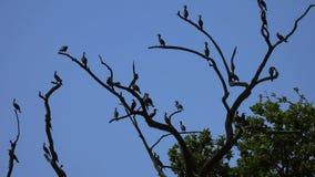 Gruppe indische Kormorane oder indische Noppe Phalacrocorax fuscicollis, die auf Baumast sitzen stock footage