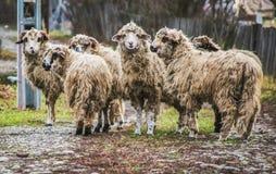 Gruppe inländische Schafe in einer Landschaft von Rumänien lizenzfreies stockbild