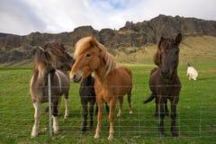 Gruppe isländische Pferde Stockbild